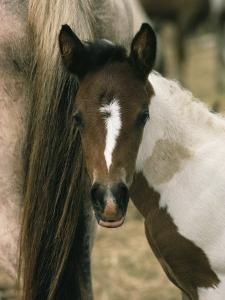 Wild Pony Foal Nuzzled up to its Mothers Tail by James L. Stanfield