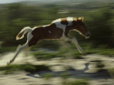 Wild Pony Foal Running by James L. Stanfield