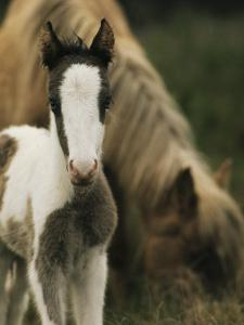 Wild Pony Foal Standing near its Grazing Mother by James L. Stanfield