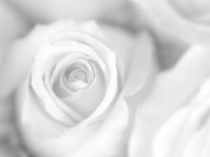 Rose Studies II by James McLoughlin