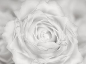 Rose Studies III by James McLoughlin