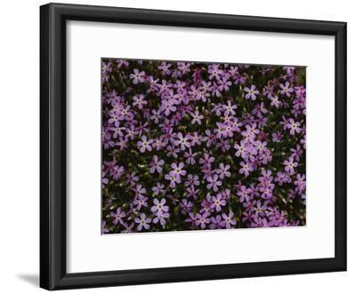 A Spray of Purple Phlox Flowers