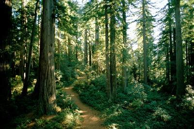 A Woodland Path Winds Through a Grove of Sequoia Trees in Long Meadow Sequoia Grove