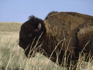 American Bison Shedding His Winter Coat, Fort Niobrara National Wildlife Refuge, Nebraska by James P. Blair