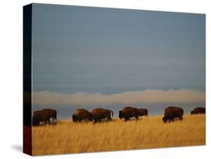 Bison Graze on the Shortgrasses of a Wyoming Prairie, Wyoming by James P. Blair