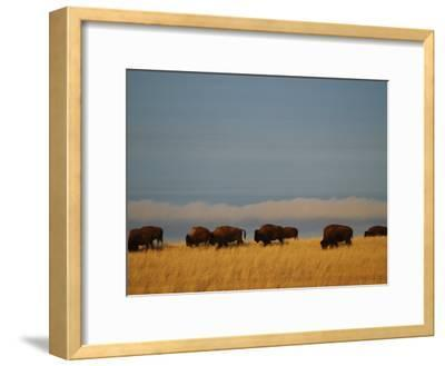 Bison Graze on the Shortgrasses of a Wyoming Prairie, Wyoming