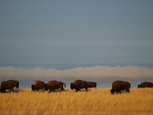 Bison Graze on the Shortgrasses of a Wyoming Prairie by James P. Blair