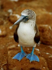 Blue-Footed Booby in a Rookery by James P. Blair