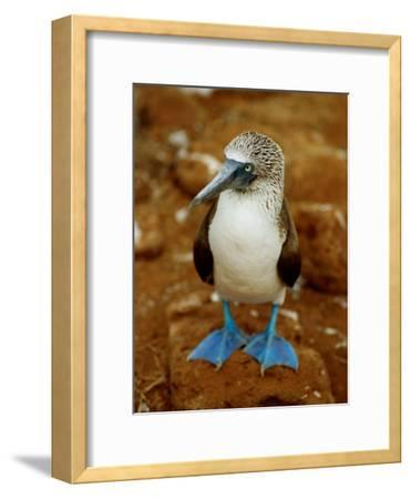 Blue-Footed Booby in a Rookery