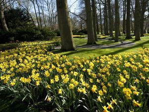 Daffodils in Bloom around Trees in a Public Garden by James P. Blair