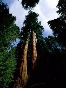 Giant Sequoia Trees Looking Skyward by James P. Blair