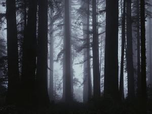 Morning Fog Envelopes Giant Redwood Trees by James P. Blair