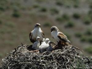 Mother and Father Ferruginous Hawk Sit in Their Nest near the Snake River, Idaho by James P^ Blair