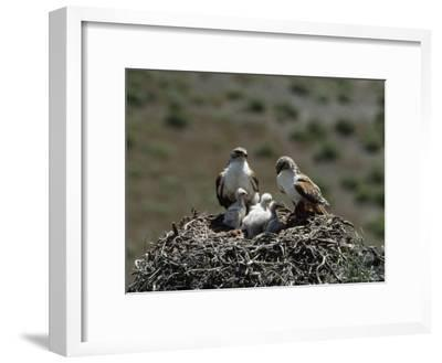 Mother and Father Ferruginous Hawk Sit in Their Nest near the Snake River, Idaho