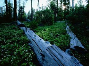 Ponderosa Pine Logs Lie in a Field of Bear Clover by James P. Blair