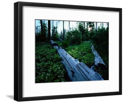 Ponderosa Pine Logs Lie in a Field of Bear Clover