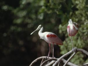 Roseate Spoonbill in Everglades National Park, Florida by James P. Blair