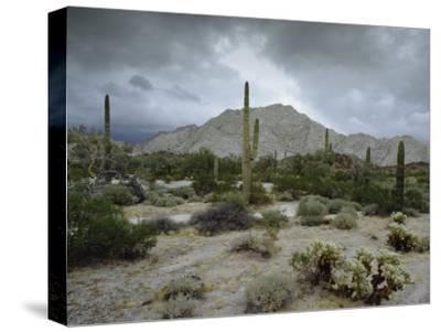Saguaros Cacti Rise from the Sonoran Desert, Arizona-Mexico Border
