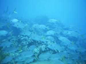 School of Crevalle Jack Fish (Caranx Hippos) off Grand Cayman Island by James P. Blair