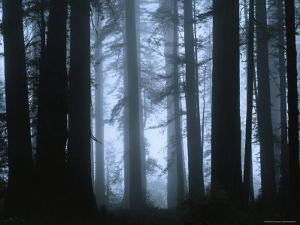 Shrouded in Mist, the Trunks of a Crowd of Giant Redwoods Soar, Redwood National Park, California by James P. Blair