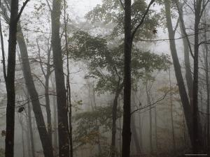 Sugar Maple Trees Stand Out in a Misty Woodland Scene, Monongahela National Forest, West Virginia by James P. Blair