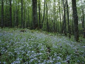 Tiny Blue Flowers Carpet a Forest's Floor, Nicolet National Forest, Wisconsin by James P. Blair
