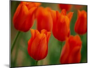 Tulips by James P. Blair