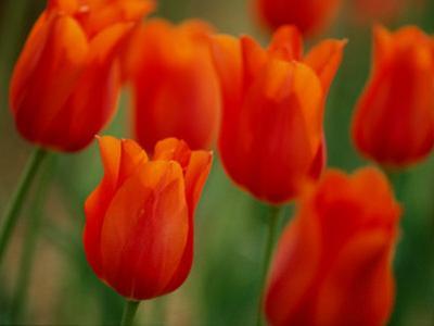 Tulips by James P^ Blair