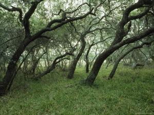 Twisted Trunks and Oak Branches, Big Tree Trail, Aransas National Wildlife Refuge, Texas by James P. Blair