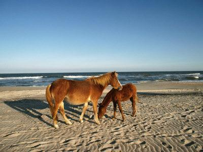 Two Chincoteague Ponies Stand Close Together on the Beach
