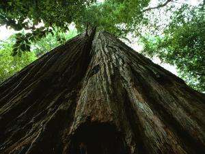 View of the Trunk of the Tallest Tree in the World by James P. Blair