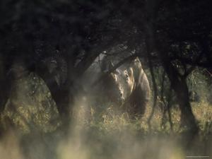 White Rhinoceros, Hluhluwe National Park, South Africa by James P. Blair