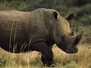 White Rhinoceros, Ubizane Game Park, South Africa by James P. Blair