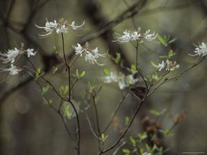 Wild Azaleas Bloom in Florida's Oseola National Forest, Florida by James P. Blair