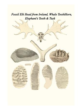 Fossil Elk Head from Ireland, Whale Toothhorn, Elephant's Teeth and Tusk