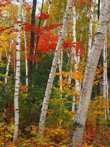 Birch and Maple Trees in Autumn by James Randklev