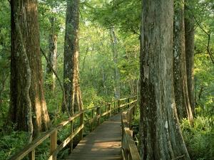 Boardwalk Through Forest of Bald Cypress Trees in Corkscrew Swamp by James Randklev