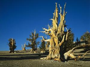 Bristlecone Pines by James Randklev