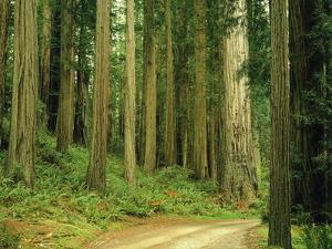 Coast Redwoods by James Randklev