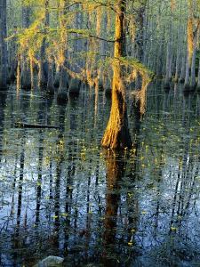 Cypress Tree and Bladderwort Flowers in Swamp by James Randklev