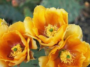 Prickly Pear Cactus Blossoms by James Randklev