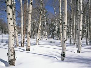 Quaking Aspens in Snow by James Randklev