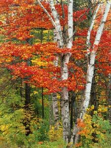 Red Maple and Birch Trees by James Randklev