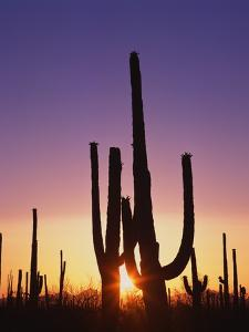 Saguaro Cacti at Sunset by James Randklev