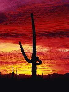 Saguaro Cactus Silhouetted at Sunset by James Randklev