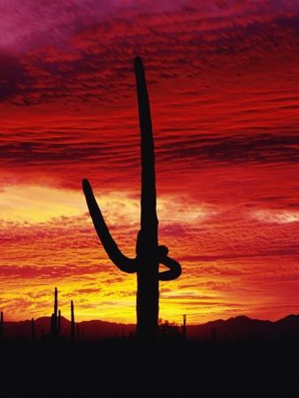 Saguaro Cactus Silhouetted at Sunset