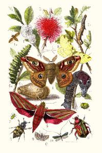 Emperor Moth, Elephant Hawk Moth, Tortoise Beetle by James Sowerby