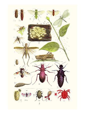 Glow-Worm, Lacewing Fly, Grasshopper,Scarlet Spider