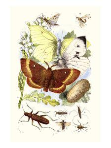 May-Fly, Brimstone Butterfly, Musk Beetle, Nut Weevil by James Sowerby