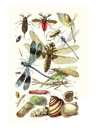 Water Scorpion, Water Boatman, Dragonfly